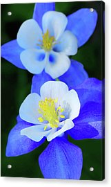 Columbine Day Acrylic Print
