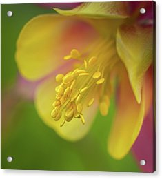 Acrylic Print featuring the photograph Columbine by Greg Nyquist