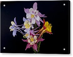 Acrylic Print featuring the photograph Columbine Medley by Gary Lengyel
