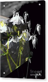 Columbine Shades Of Grey Acrylic Print