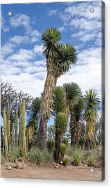 Columnar Cacti And Yucca Trees Acrylic Print