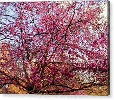 Columnar Sargent Cherry 1 Acrylic Print