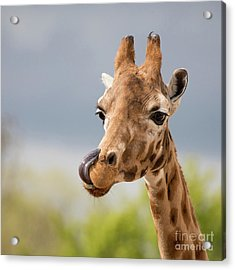 Comical Giraffe With His Tongue Out.  Acrylic Print