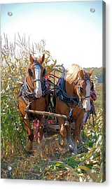 Coming Through The Corn Acrylic Print by Valerie Kirkwood