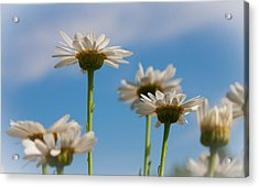 Acrylic Print featuring the photograph Coming Up Daisies by Christina Lihani