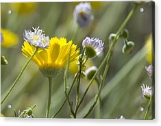 Coming Up Daisies Acrylic Print