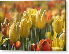 Coming Up Tulips Acrylic Print