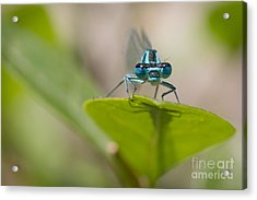 Common Blue Damselfly Acrylic Print