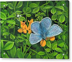 Common Blue On Bird's-foot Trefoil Acrylic Print