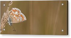 Common Blue Roosting Acrylic Print