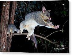 Common Brushtail Possum Acrylic Print