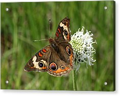 Common Buckeye Butterfly On Wildflower Acrylic Print