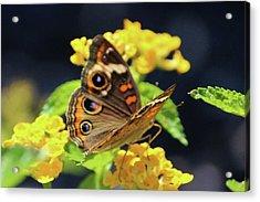 Common Buckeye On Flower Acrylic Print by Cynthia Guinn