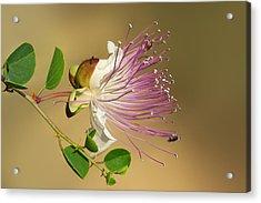 Common Caper Acrylic Print by Yuri Peress