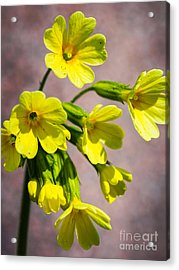 Common Cowslip In The Morning Sunlight Acrylic Print