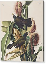 Common Crow Acrylic Print by John James Audubon