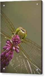 Common Darter Dragonfly Acrylic Print