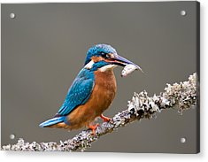 Acrylic Print featuring the photograph Common Kingfisher 1 by Phil Stone