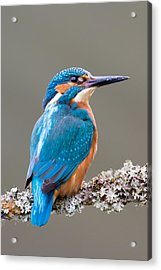 Acrylic Print featuring the photograph Common Kingfisher 2 by Phil Stone
