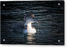 Acrylic Print featuring the photograph Common Loon by Randy Hall
