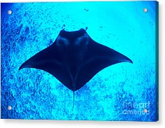 Common Manta Ray Acrylic Print by Dave Fleetham - Printscapes