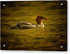 Common Merganser 2 Acrylic Print