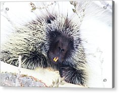 Common Porcupine Acrylic Print