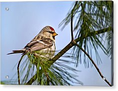 Acrylic Print featuring the photograph Common Redpoll Bird by Christina Rollo