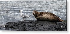 Common Seal And The Gull Acrylic Print