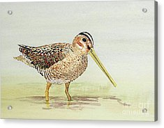 Acrylic Print featuring the painting Common Snipe Wading by Thom Glace