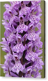 Common Spotted Orchid Acrylic Print by Liz Pinchen