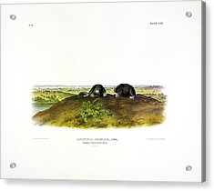 Common Star-nose Mole Acrylic Print