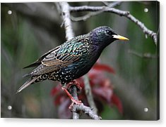 Common Starling Acrylic Print