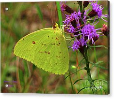 Acrylic Print featuring the photograph Common Sulphur Butterfly by Donna Brown