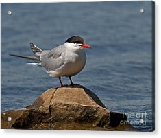 Common Tern... Acrylic Print by Nina Stavlund