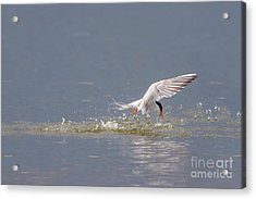 Common Tern - Sterna Hirundo - Emerging From The Water With A Fish Acrylic Print