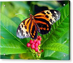 Common Tiger Glassywing Butterfly Acrylic Print