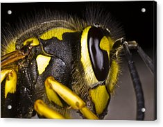 Common Wasp Vespula Vulgaris Close-up Acrylic Print