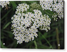 Common Yarrow Closeup Acrylic Print by Robyn Stacey