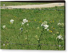 Common Yarrow Acrylic Print by Robyn Stacey
