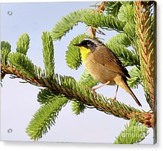 Acrylic Print featuring the photograph Common Yellow-throat by Debbie Stahre