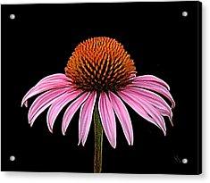 Cone Flower - Rudbeckia Acrylic Print