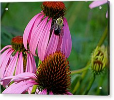 Cone Flower  Bumble Bee Macro Acrylic Print by Martin Morehead