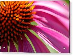 Cone Flower Acrylic Print by Scott Gould