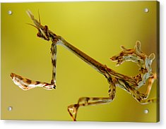 Acrylic Print featuring the photograph Cone Head Mantis by Richard Patmore