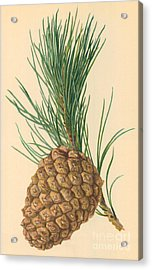 Cone Of Stone Pine Acrylic Print by William Henry James Boot