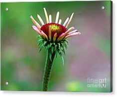 Coneflower Bloom Acrylic Print