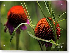 Coneflower Centers Acrylic Print by Jim Wright