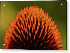 Coneflower Crown With Raindrops Acrylic Print