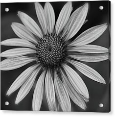 Coneflower In Black And White Acrylic Print